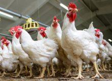 مرغ وارداتی دولت ۲ برابر گرانتر از بازار تمام شد!